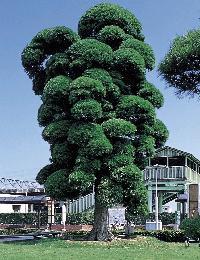 市の木:イヌマキ
