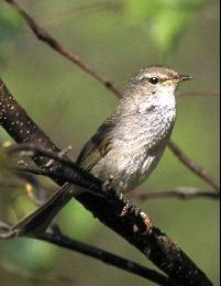 市の鳥:ウグイス