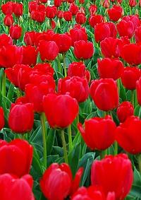 市の花:チューリップ