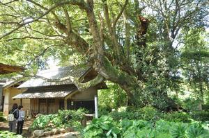 見るものを圧倒する神秘的な巨樹の画像