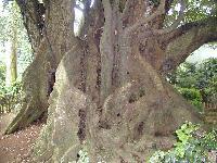 巨木の多さもトップ級01