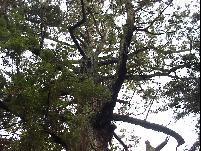 巨木の多さもトップ級02