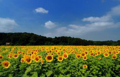 フォトコンクール:ひまわり畑