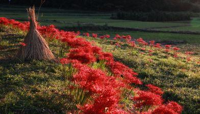フォトコンクール:彼岸花の咲く里
