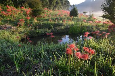 フォトコンクール:朝日に輝く彼岸花