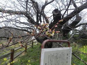 平成29年黄門桜開花情報(4月8日)02