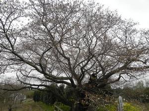平成29年黄門桜開花情報(4月11日)01