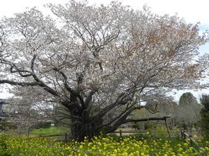 平成29年黄門桜開花情報(4月15日)01