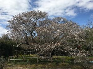 平成29年黄門桜開花情報(4月13日)01