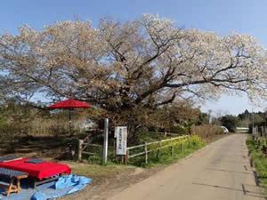 黄門桜(観光スポット)