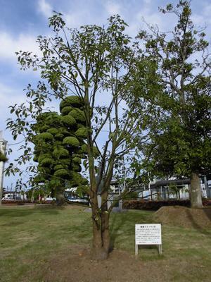 長崎の被爆樹木二世「クスノキ」2