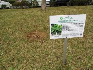 広島の被爆樹木二世「アオギリ」
