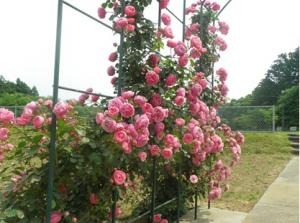 天神山公園バラのアーチ